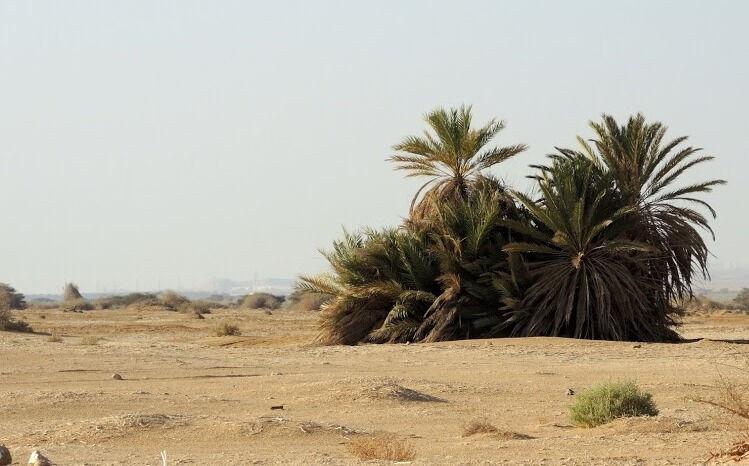 Пустыня Арава, акации и пальмы.: alena_15
