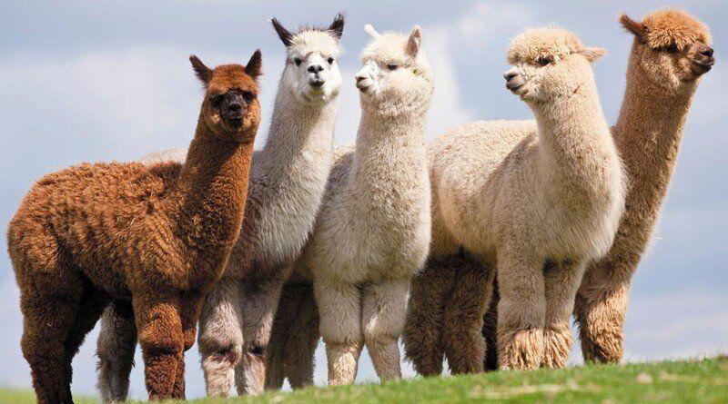 Одежда из альпаки, очень ценной и легкой шерсти | Журнал для женщин