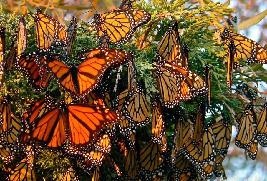 Данаида монарх | Мир животных и растений