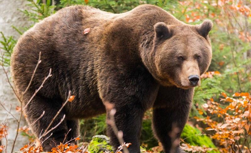 Бурый медведь | Животный мир | Туристический Кобрин
