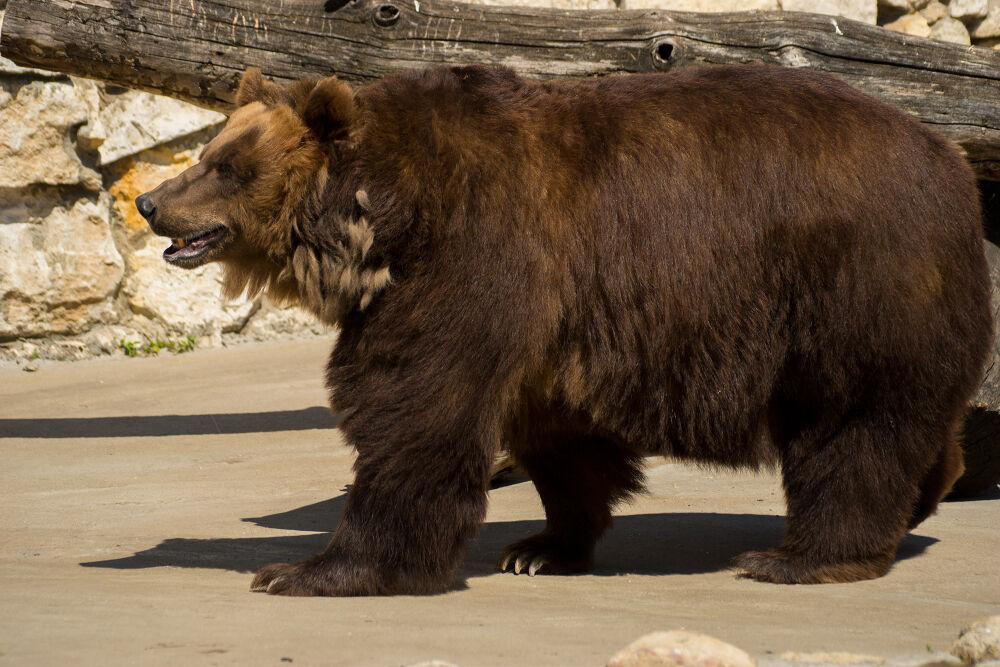 Бурый медведь - Wikiwand