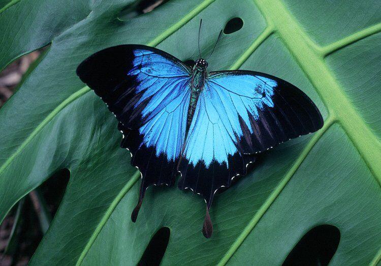 Парусник улисс/Papilio ulysses]