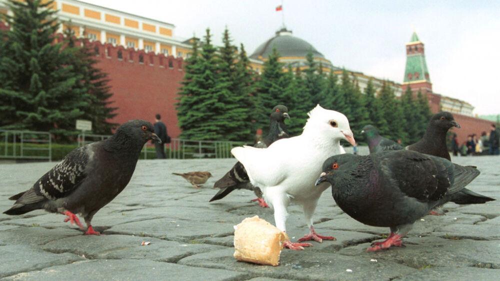 Московских голубей поразила птичья псевдочума, передающаяся человеку ...
