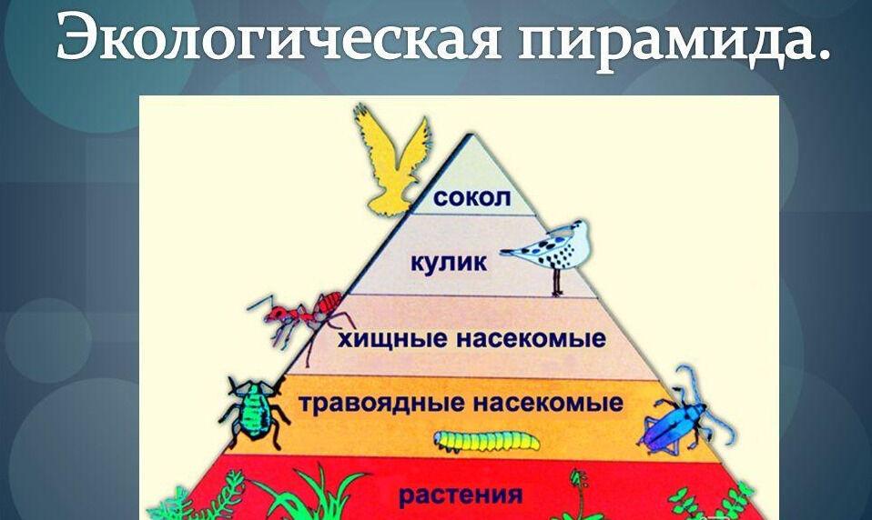 Презентация на тему: Экологическая пирамида. Падение количества ...