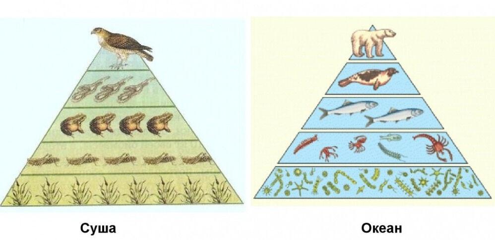 трофическая пирамида