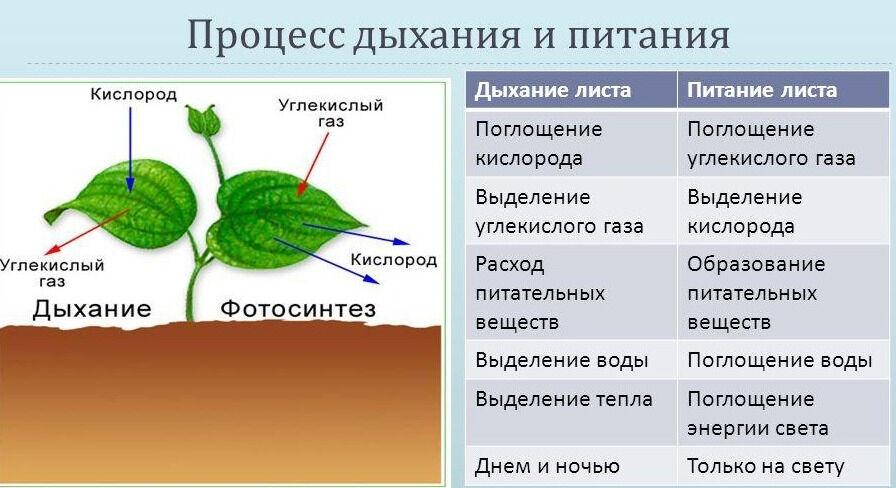 Презентация на тему: Дыхание растений Биология, 7 класс. Дыхание ...