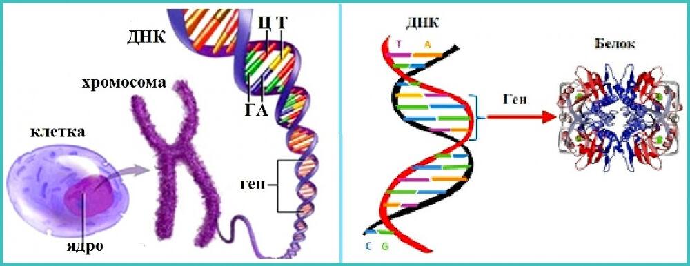 клинико генеалогический метод