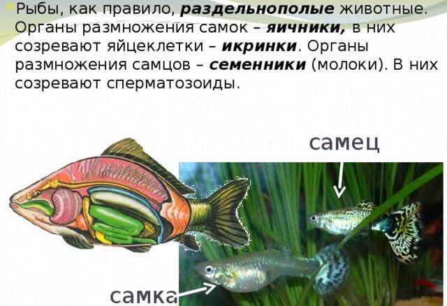 Размножение и развитие рыб. Презентация к уроку биологии.