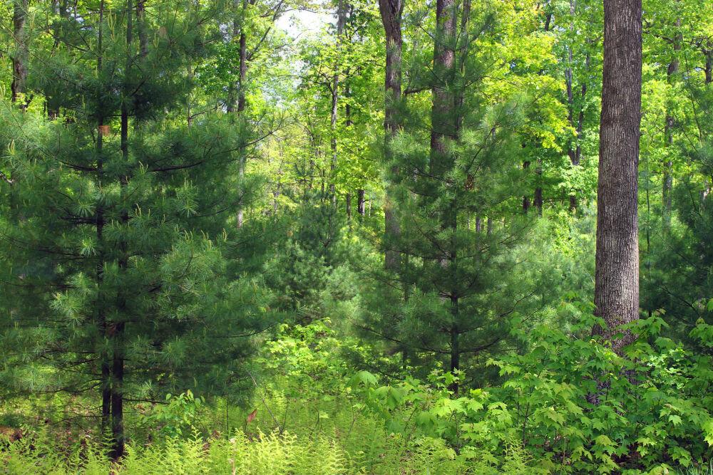серые лесные