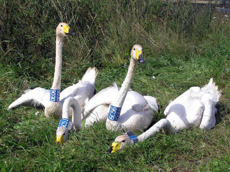 Центр кольцевания птиц России - Цветные кольца и метки