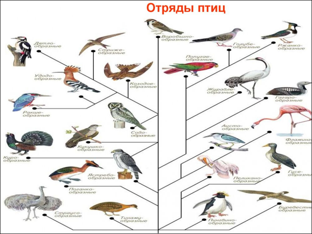 классы птиц (главный ключ)