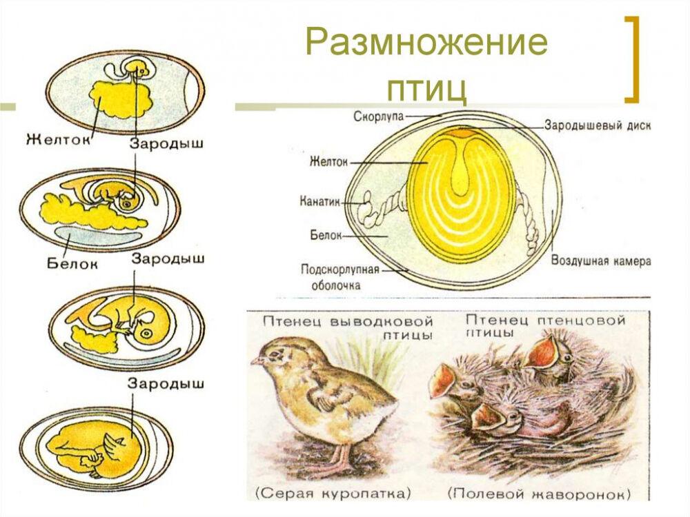 Способы размножения животных. Оплодотворение - online presentation