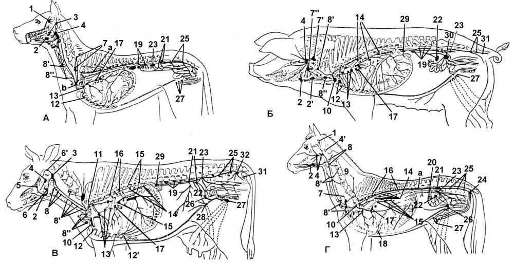 Лимфатическая система животных