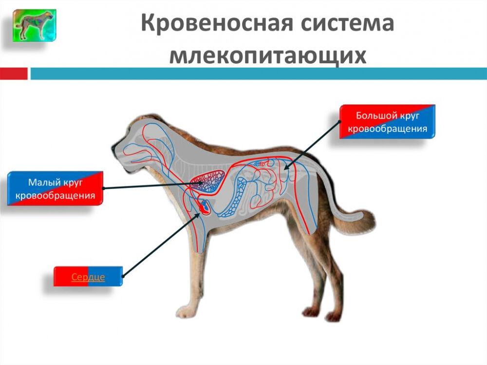 Транспорт веществ. Типы кровеносных систем - online presentation