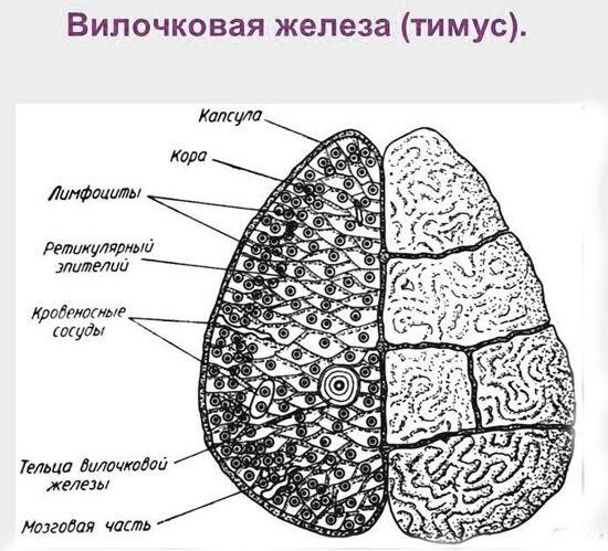 Биология для студентов - 01. Иммунная система. Центральные ...