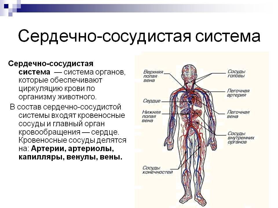 СЕРДЕЧНО СОСУДИСТАЯ СИСТЕМА, Анатомия человека, строение тела ...