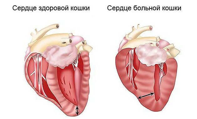 Ветеринарная кардиология — Ветеринарные центры малотравматичной ...