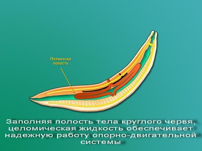 Общая характеристика Типа Круглые черви — урок. Биология, Животные ...