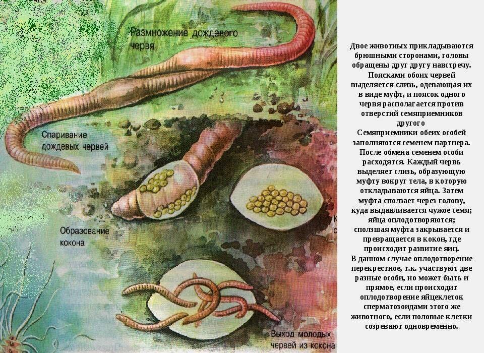 как размножаются земляные черви. Размножение и развитие дождевых червей