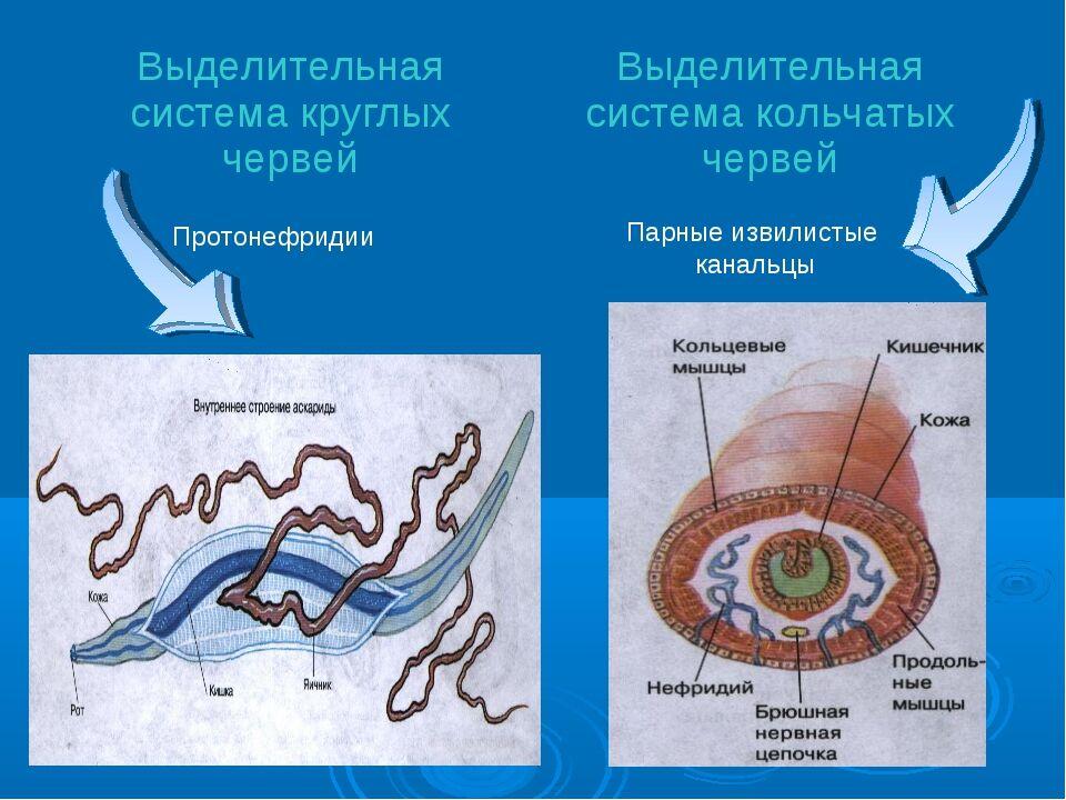 Презентация по биологии на тему Эволюция мочевыделительной системы