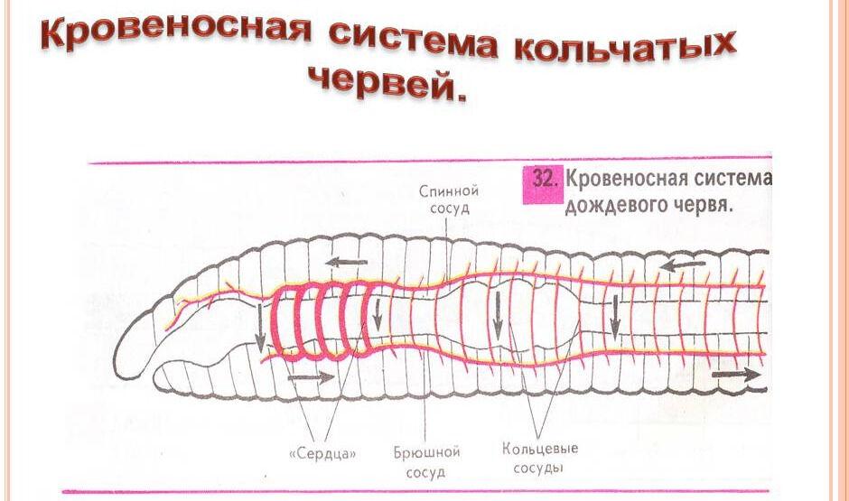Схема строения кровеносной системы кольчатых червей
