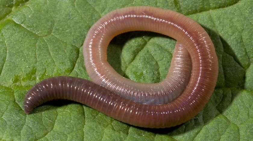 В Австралии из земли вылез гигантский червь :: Жизнь