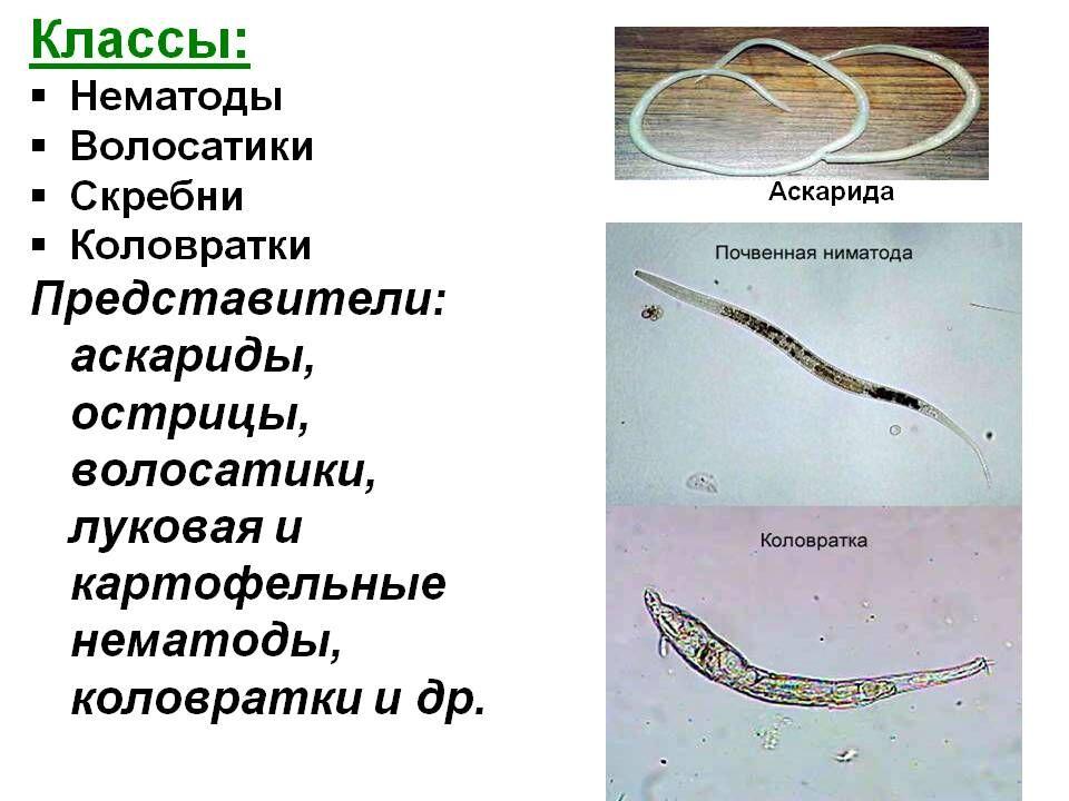 Фото разных видов глистов, аскариды круглые черви фото