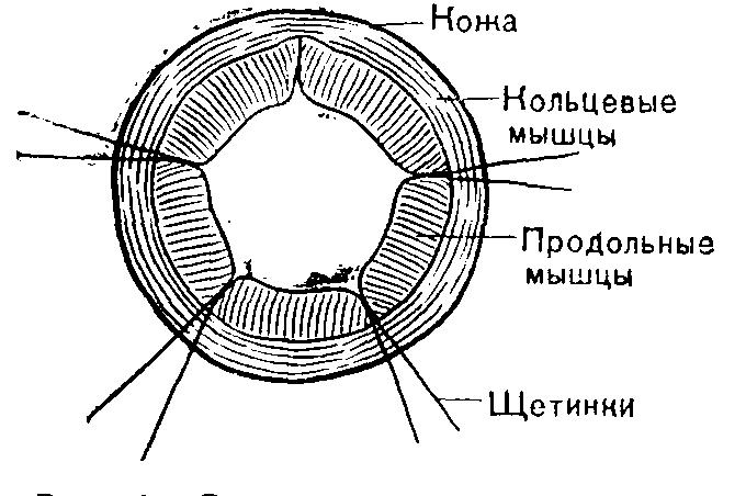 чем круглые черви отличаются от плоских червей