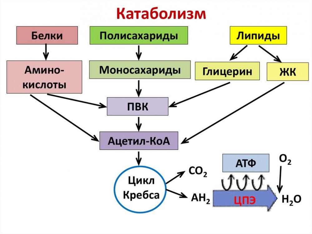 Катаболизм. Общая схема цикла Кребса - online presentation