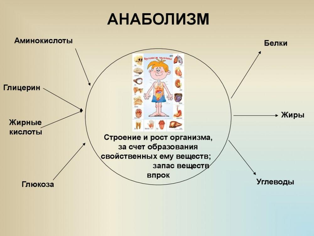 Метаболизм или обмен веществ и энергии - online presentation