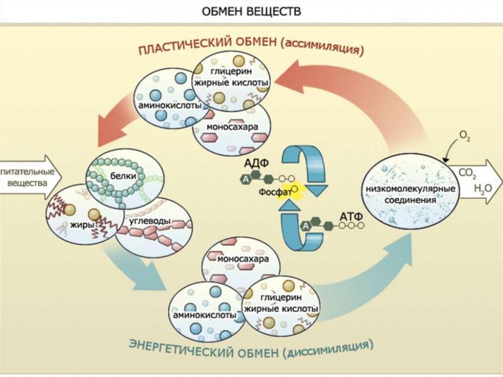 метаболические процессы