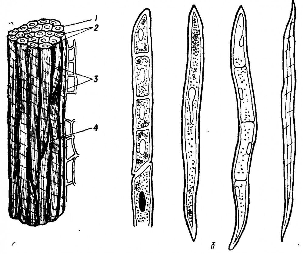 механическая ткань растений (главный ключ)