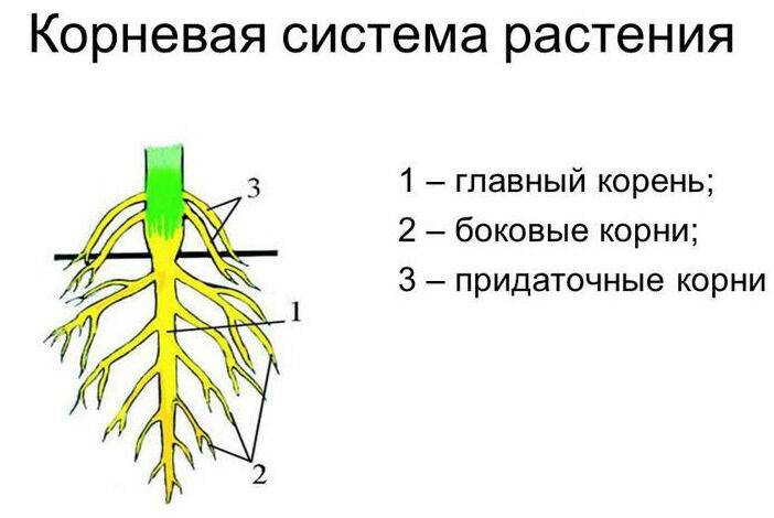 Презентация на тему: Строение корня и корневых систем. Корневая ...
