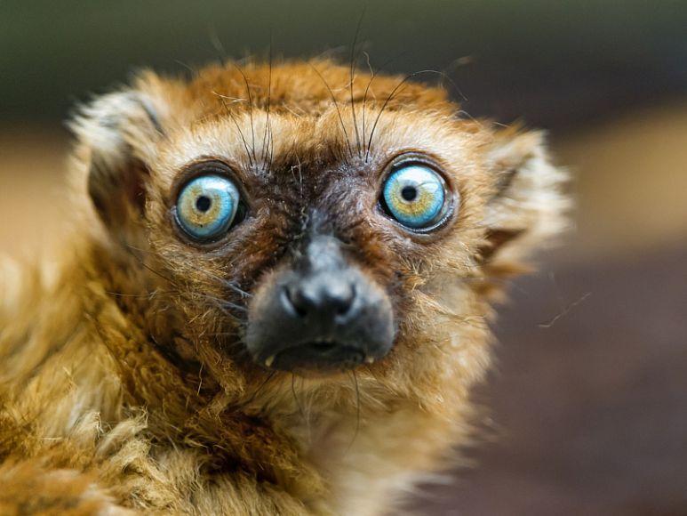 Мадагаскарские лемуры могут исчезнуть с лица Земли — National ...