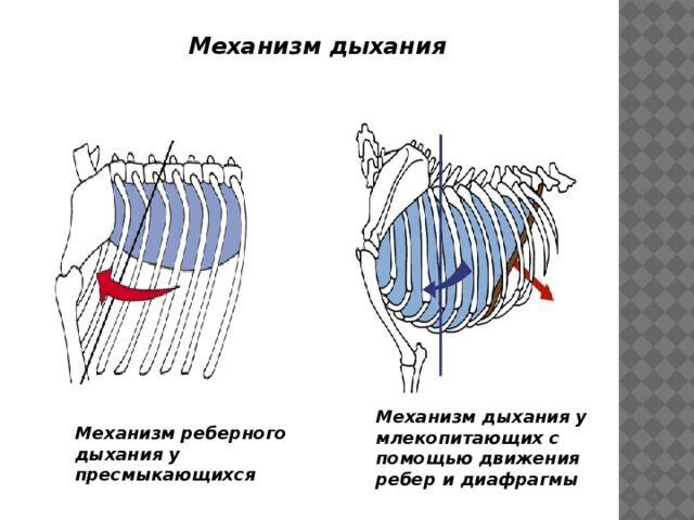 Презентация по биологии Ароморфозы млекопитающих