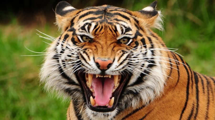 Тигр убил торговца элексирами из тигров | Новости | Известия | 11.05 ...