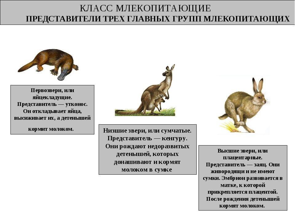 однопроходные млекопитающие