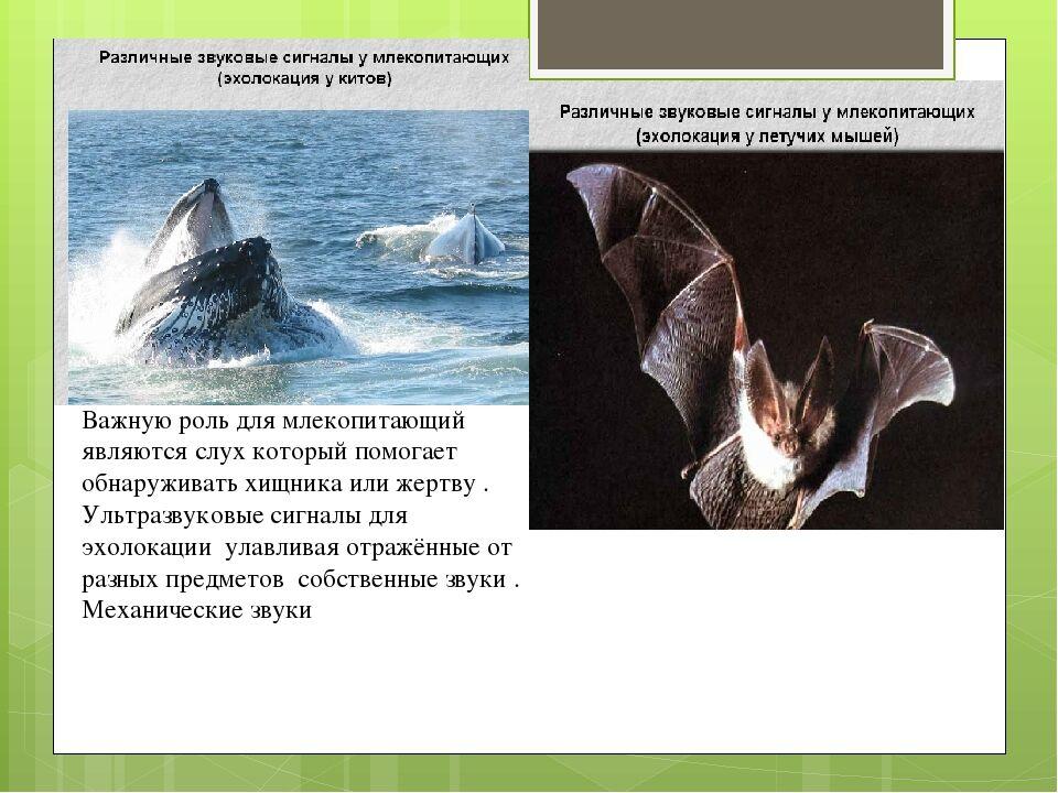 Презентация Внутреннее строение млекопитающих