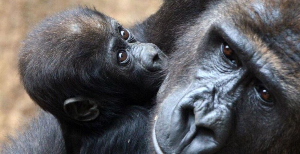 Планета без обезьян. В Африке нашлись новые гориллы. Они вымирают