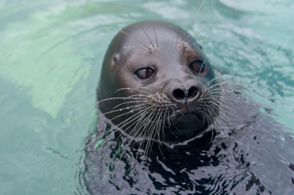Фоторепортаж: как тюлень Крошик переносит жару в Петербурге