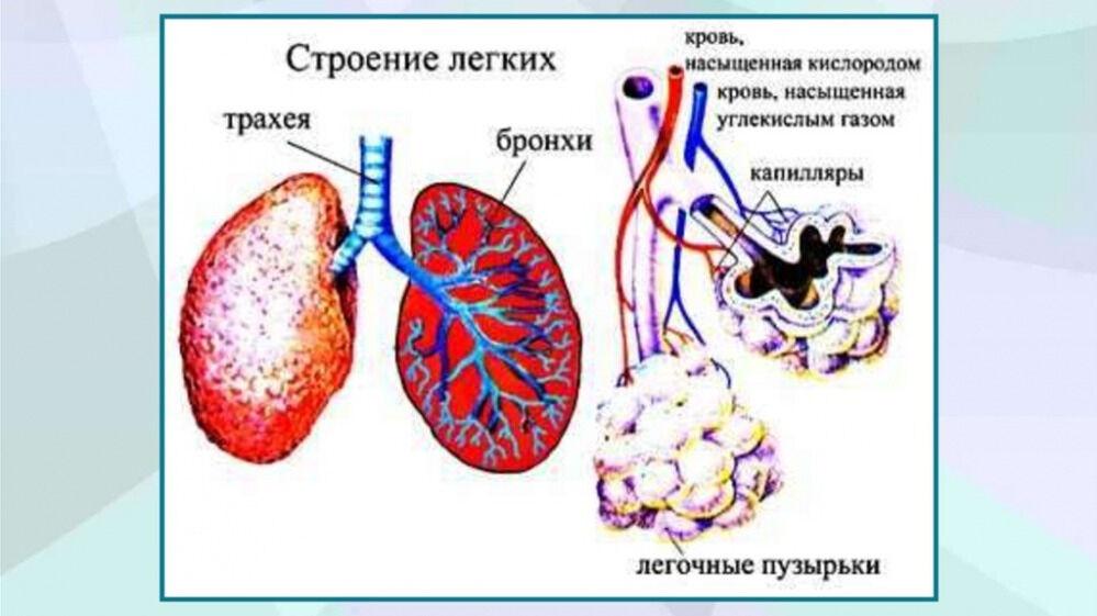 Органы дыхания и газообмен - online presentation