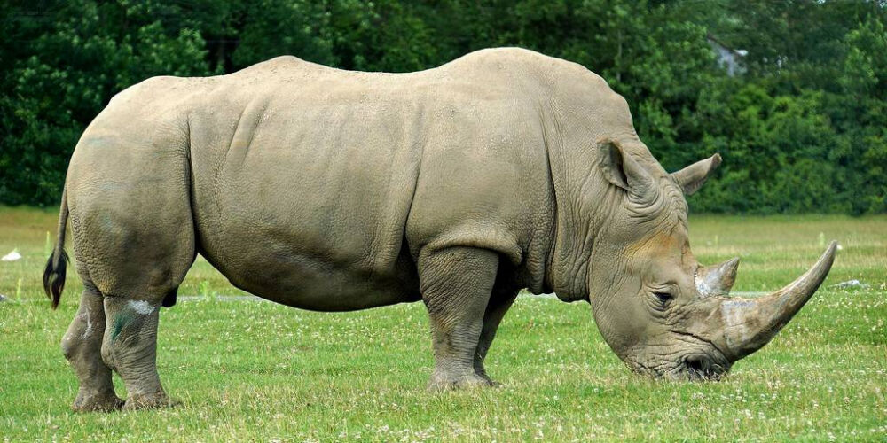 Носорог – описание, фото, виды, чем питается, где обитает