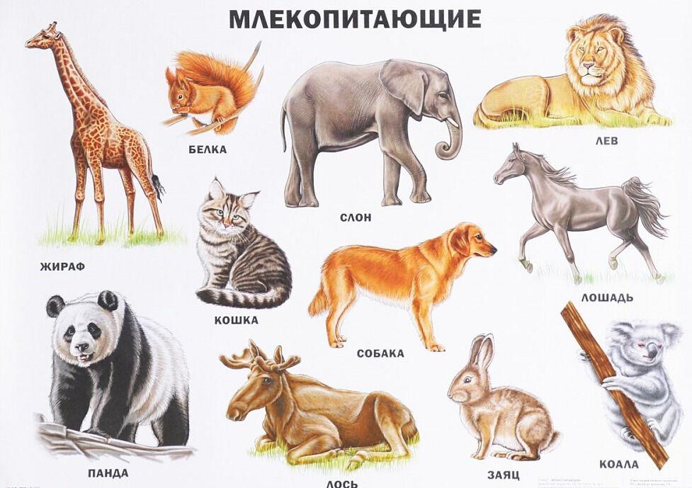 Млекопитающие - отличительные черты и строение - Helperia
