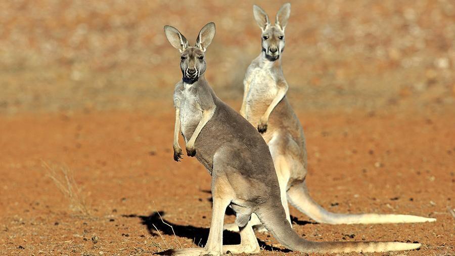 Жители Австралии бьют тревогу из-за кенгуру | Новости | Известия ...