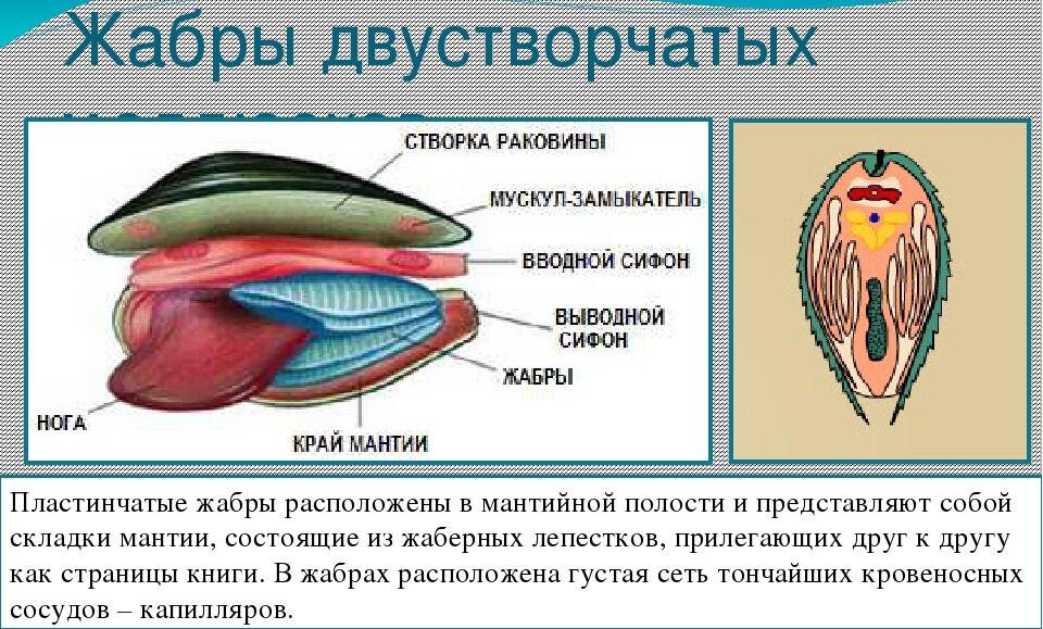 Презентация по биологии Органы дыхания животных