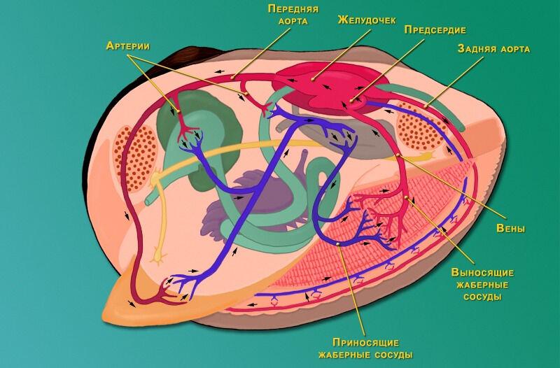 Кровеносная система двустворчатого моллюска - Моллюски - Зоология ...