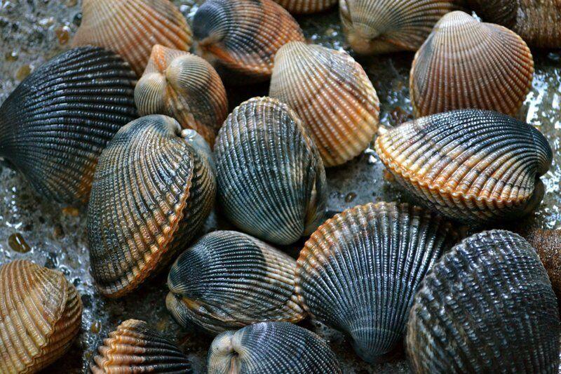Двустворчатые моллюски что это и польза для здоровья