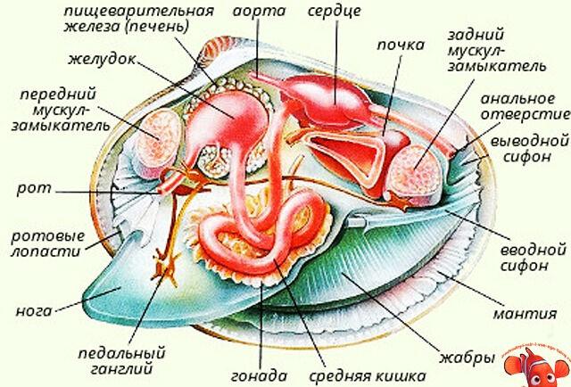 Особенности строения моллюсков в зависимости от видов