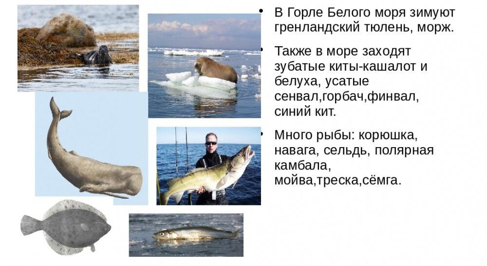 Презентация по краеведению для 3 класса Белое море