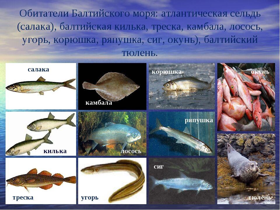 Презентация к уроку окружающего мира на тему:Моря России УМК ...